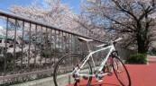 まだまだイケてる練馬の桜(^_^)/