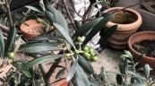 育ちの悪いオリーブの木(^ ^)
